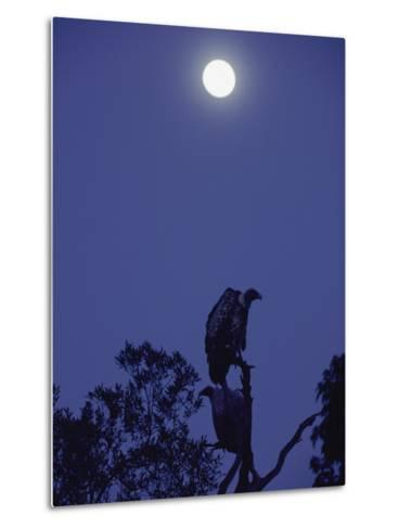 A Vulture Sits on a Branch under the Light of a Full Moon-Jason Edwards-Metal Print