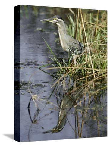 A Close View of a Green Heron-Jason Edwards-Stretched Canvas Print