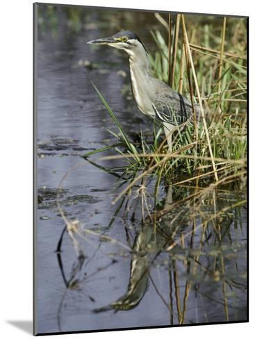 A Close View of a Green Heron-Jason Edwards-Mounted Photographic Print