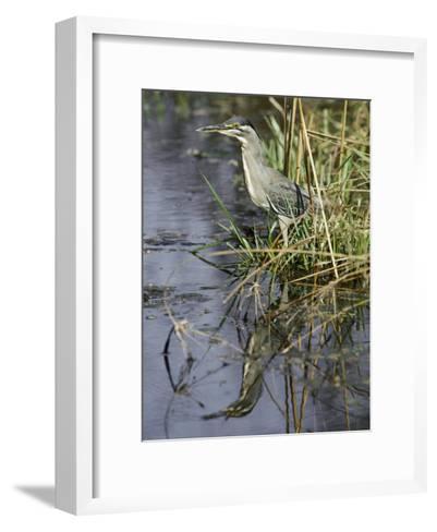 A Close View of a Green Heron-Jason Edwards-Framed Art Print