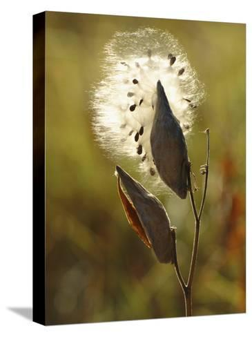 Close View of a Milkweed Pod Gone to Seed-Phil Schermeister-Stretched Canvas Print