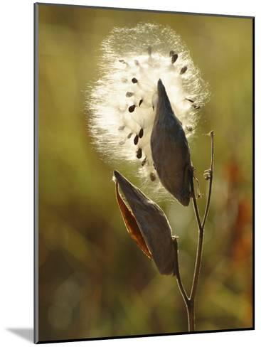 Close View of a Milkweed Pod Gone to Seed-Phil Schermeister-Mounted Photographic Print
