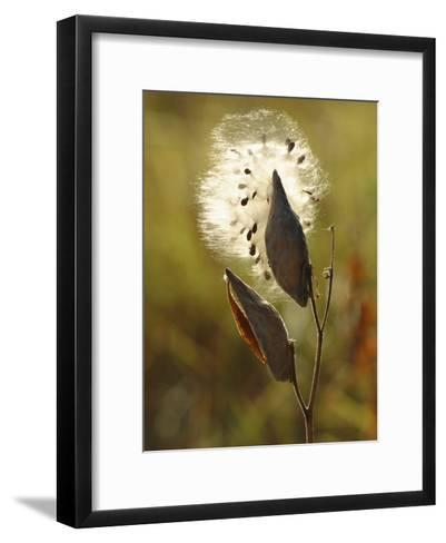 Close View of a Milkweed Pod Gone to Seed-Phil Schermeister-Framed Art Print