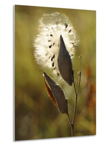 Close View of a Milkweed Pod Gone to Seed-Phil Schermeister-Metal Print