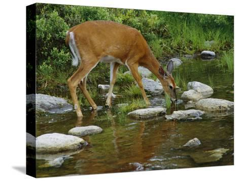 A White-Tailed Deer Drinks from a Stream-Phil Schermeister-Stretched Canvas Print