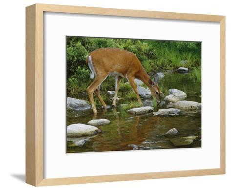 A White-Tailed Deer Drinks from a Stream-Phil Schermeister-Framed Art Print