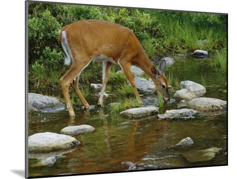 A White-Tailed Deer Drinks from a Stream-Phil Schermeister-Mounted Photographic Print