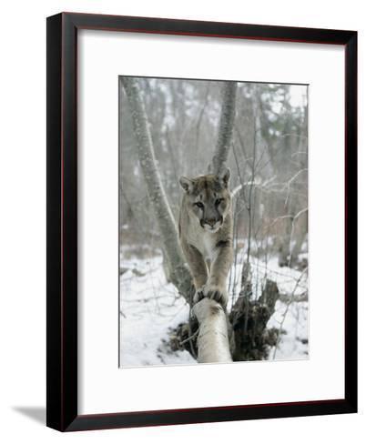 A Mountain Lion Walks Along a Tree Branch in Winter-Dr^ Maurice G^ Hornocker-Framed Art Print