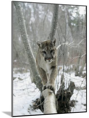 A Mountain Lion Walks Along a Tree Branch in Winter-Dr^ Maurice G^ Hornocker-Mounted Photographic Print