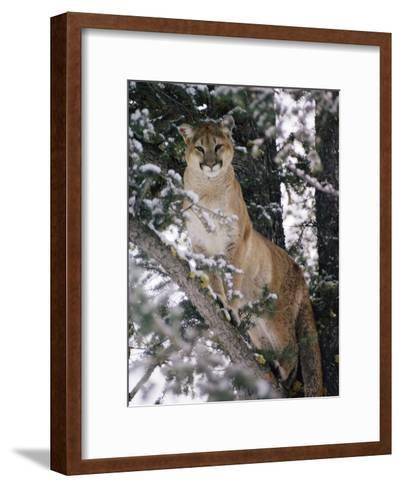 Beautiful Shot of a Mountain Lion in a Snowy Tree-Dr^ Maurice G^ Hornocker-Framed Art Print