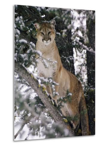 Beautiful Shot of a Mountain Lion in a Snowy Tree-Dr^ Maurice G^ Hornocker-Metal Print