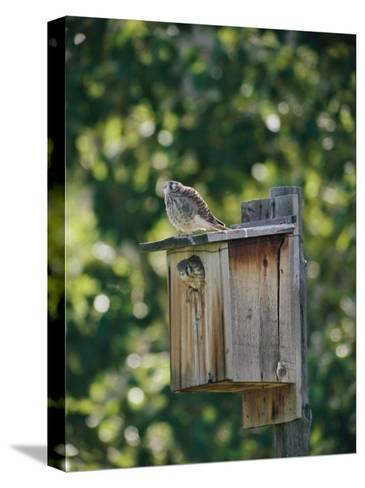 Common Kestrels Nest in a Bird House-Dr^ Maurice G^ Hornocker-Stretched Canvas Print