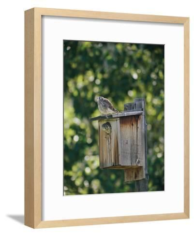 Common Kestrels Nest in a Bird House-Dr^ Maurice G^ Hornocker-Framed Art Print