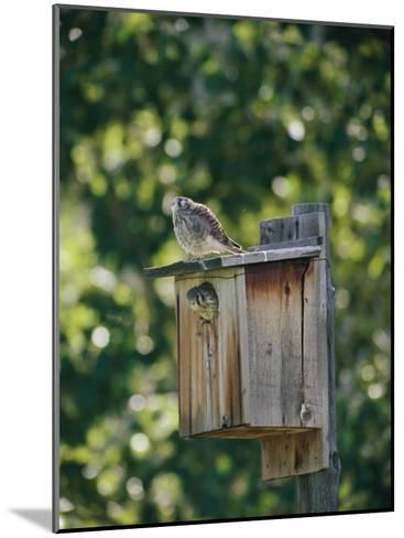 Common Kestrels Nest in a Bird House-Dr^ Maurice G^ Hornocker-Mounted Photographic Print
