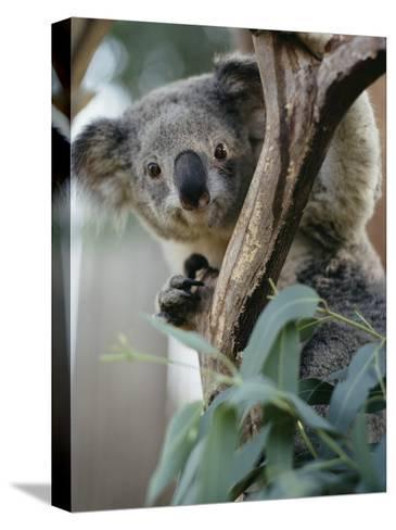Close View of a Koala Bear-Kenneth Garrett-Stretched Canvas Print