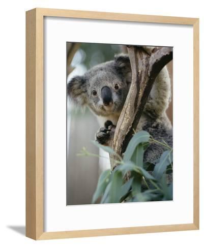 Close View of a Koala Bear-Kenneth Garrett-Framed Art Print