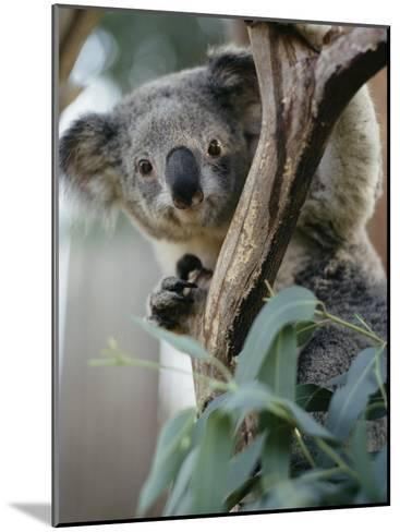 Close View of a Koala Bear-Kenneth Garrett-Mounted Photographic Print