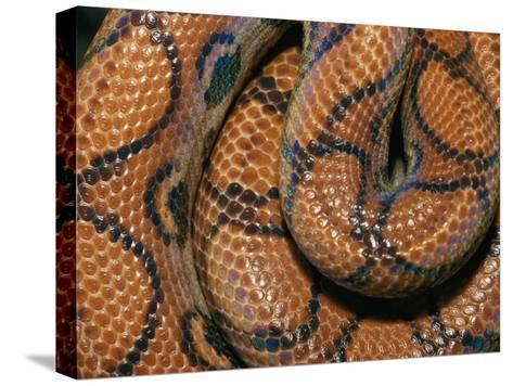 Detail of the Scales and Design of a Brazilian Rainbow Boa-Darlyne A^ Murawski-Stretched Canvas Print