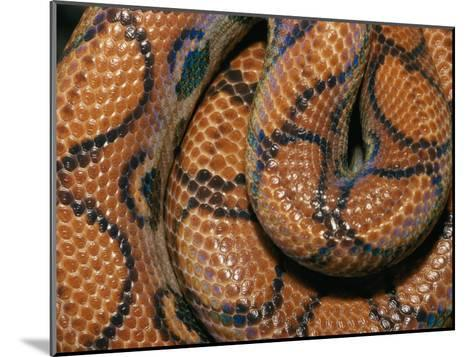 Detail of the Scales and Design of a Brazilian Rainbow Boa-Darlyne A^ Murawski-Mounted Photographic Print