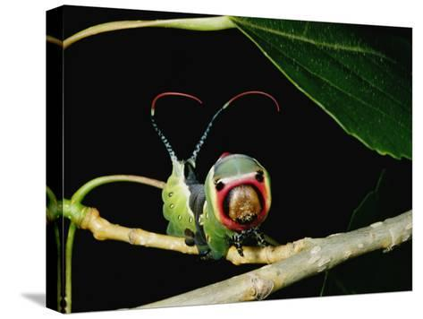 A Puss Moth Caterpillar on a Branch, Showing its False Face-Darlyne A^ Murawski-Stretched Canvas Print