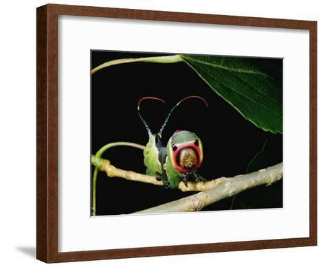 A Puss Moth Caterpillar on a Branch, Showing its False Face-Darlyne A^ Murawski-Framed Art Print