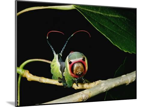 A Puss Moth Caterpillar on a Branch, Showing its False Face-Darlyne A^ Murawski-Mounted Photographic Print