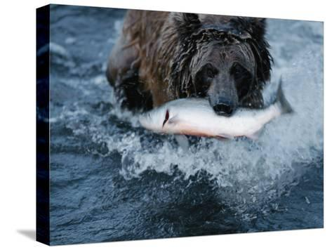 A Grizzly Bear Carries its Freshly Caught Salmon to Shore-Joel Sartore-Stretched Canvas Print