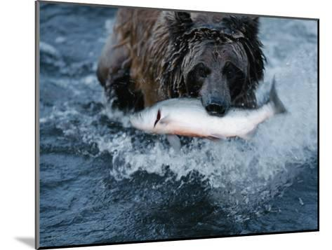 A Grizzly Bear Carries its Freshly Caught Salmon to Shore-Joel Sartore-Mounted Photographic Print