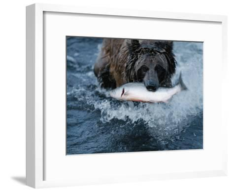 A Grizzly Bear Carries its Freshly Caught Salmon to Shore-Joel Sartore-Framed Art Print