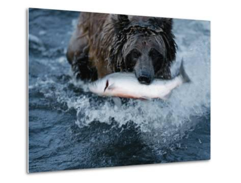 A Grizzly Bear Carries its Freshly Caught Salmon to Shore-Joel Sartore-Metal Print