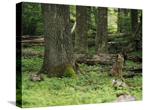 A Fox Sits in a Green Woodland-Bill Hatcher-Stretched Canvas Print