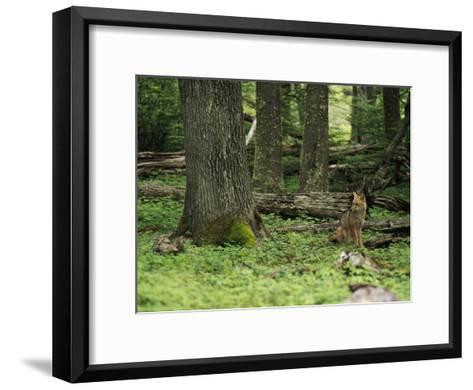 A Fox Sits in a Green Woodland-Bill Hatcher-Framed Art Print