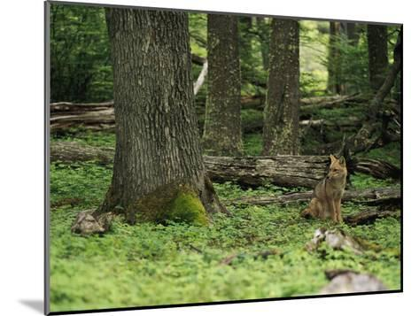 A Fox Sits in a Green Woodland-Bill Hatcher-Mounted Photographic Print