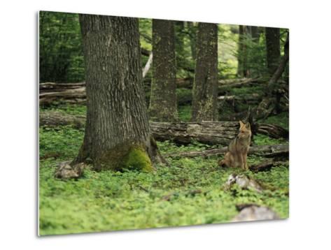 A Fox Sits in a Green Woodland-Bill Hatcher-Metal Print