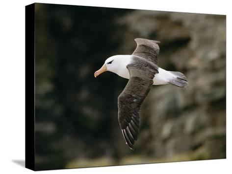 Black-Browed Albatross-Steve Raymer-Stretched Canvas Print