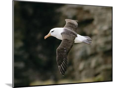 Black-Browed Albatross-Steve Raymer-Mounted Photographic Print
