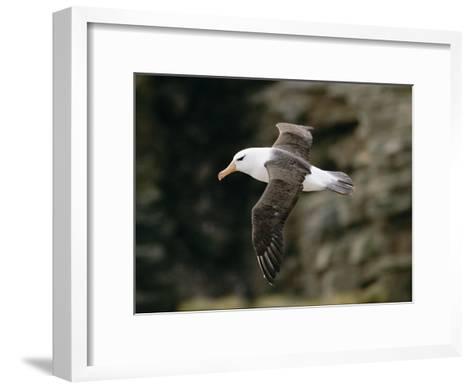 Black-Browed Albatross-Steve Raymer-Framed Art Print
