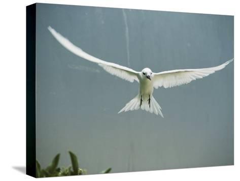 Fairy Tern in Flight-Bates Littlehales-Stretched Canvas Print