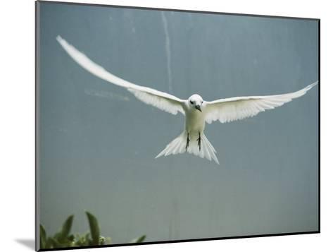 Fairy Tern in Flight-Bates Littlehales-Mounted Photographic Print