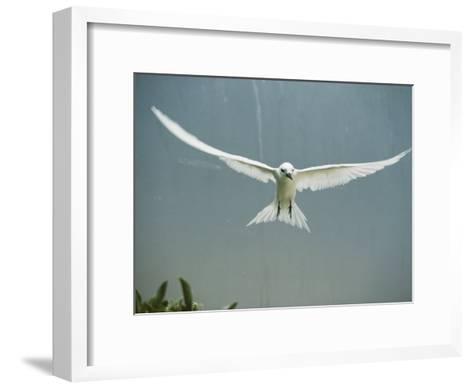 Fairy Tern in Flight-Bates Littlehales-Framed Art Print