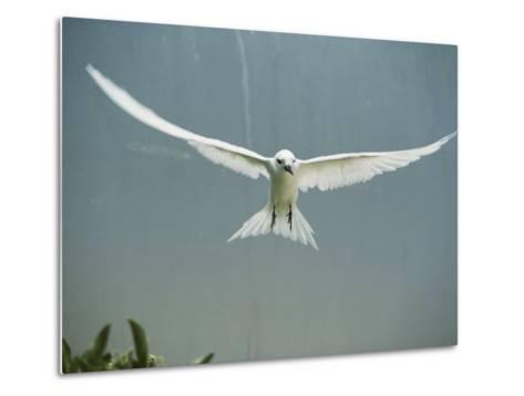 Fairy Tern in Flight-Bates Littlehales-Metal Print