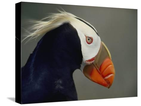 A Tufted Puffin Finds Shelter in the Farallon Islands Refuge-Bates Littlehales-Stretched Canvas Print