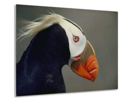 A Tufted Puffin Finds Shelter in the Farallon Islands Refuge-Bates Littlehales-Metal Print
