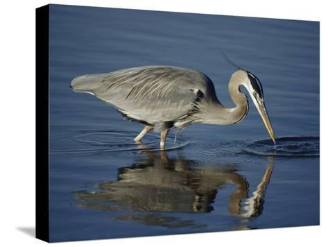 A Great Blue Heron Wades on Stilt-Like Legs While Foraging for Food-Bates Littlehales-Stretched Canvas Print