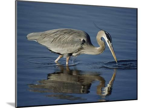 A Great Blue Heron Wades on Stilt-Like Legs While Foraging for Food-Bates Littlehales-Mounted Photographic Print