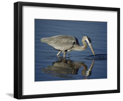 A Great Blue Heron Wades on Stilt-Like Legs While Foraging for Food-Bates Littlehales-Framed Art Print