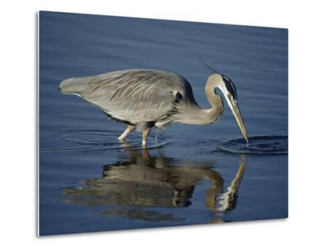 A Great Blue Heron Wades on Stilt-Like Legs While Foraging for Food-Bates Littlehales-Metal Print