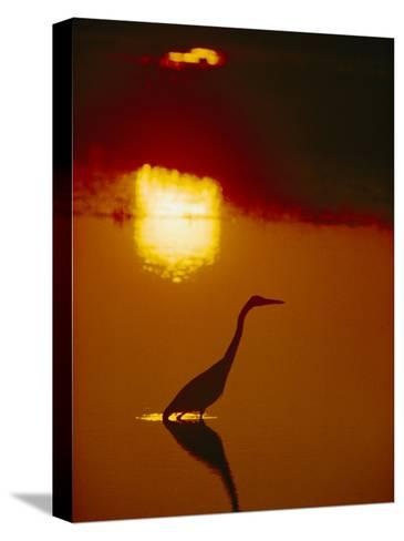A Great Blue Heron Stalks an Evening Meal-Bates Littlehales-Stretched Canvas Print
