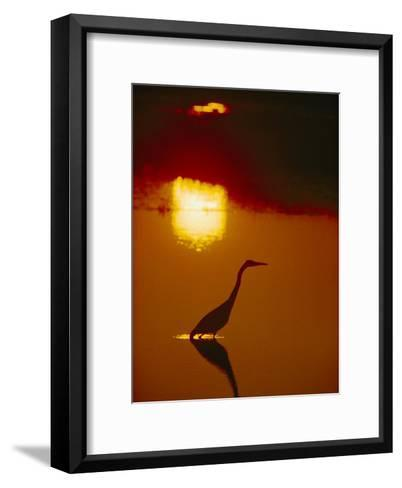 A Great Blue Heron Stalks an Evening Meal-Bates Littlehales-Framed Art Print