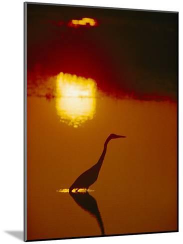A Great Blue Heron Stalks an Evening Meal-Bates Littlehales-Mounted Photographic Print